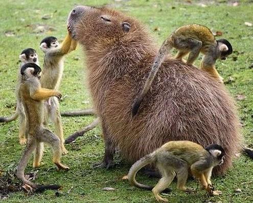 Kapibar009